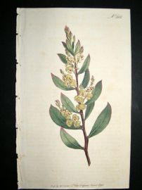 Curtis 1795 Hand Col Botanical Print. Myrtle Leaved Mimusa 302